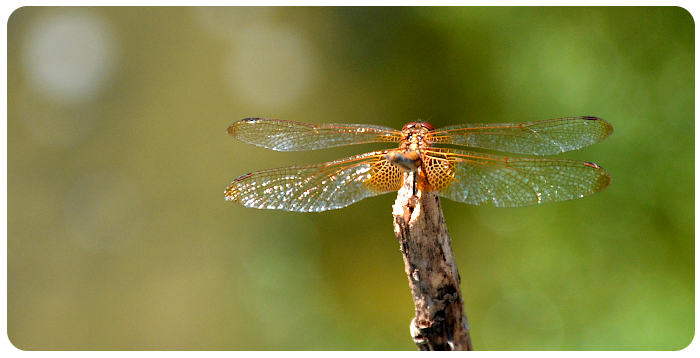 dragonfly - click on image to return