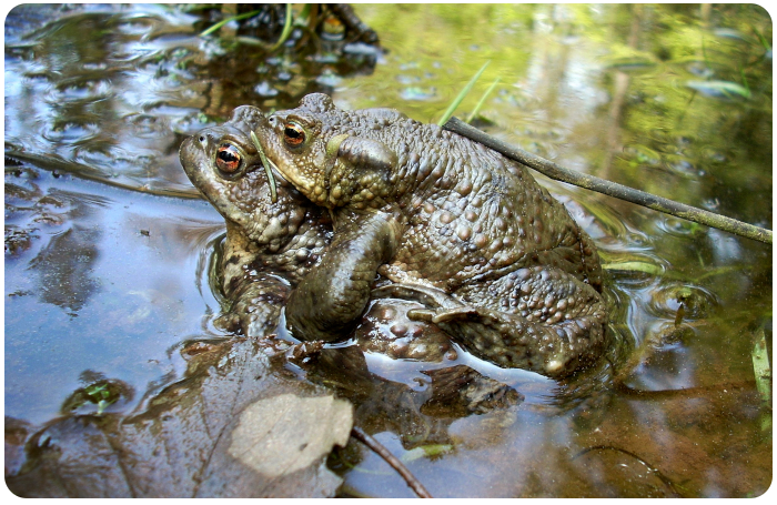 frogs mating - click on image to return