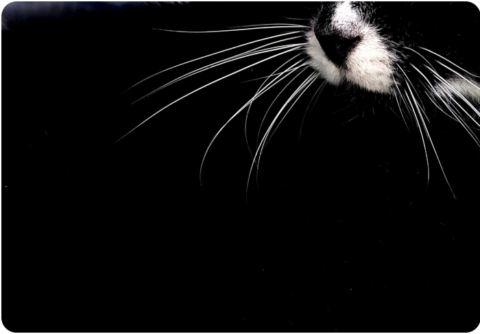 cat whiskers - click on image to return
